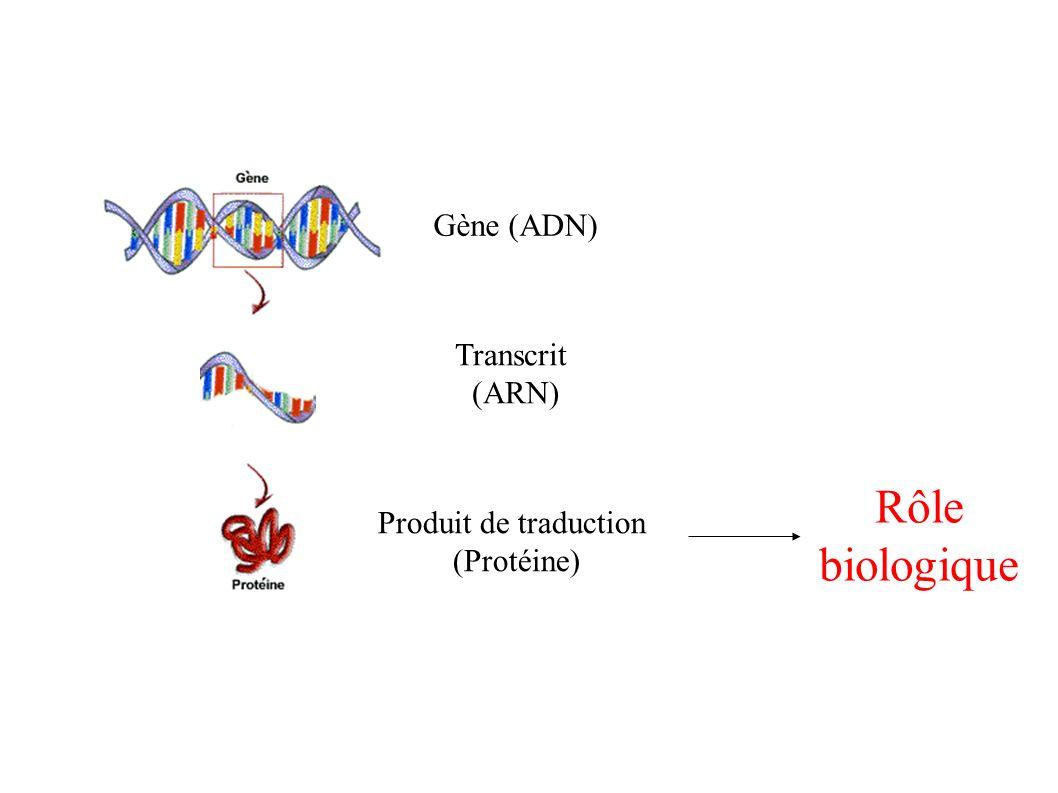 Rôle biologique Gène (ADN) Transcrit (ARN) Produit de traduction