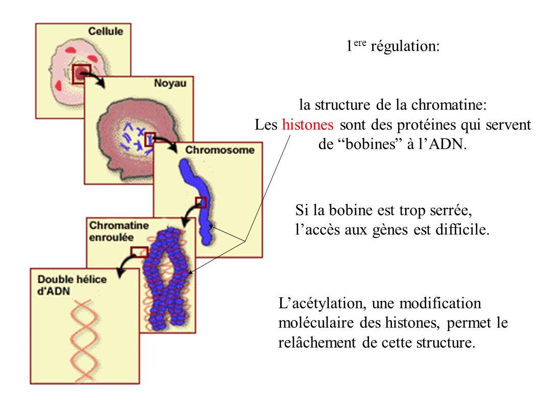 la structure de la chromatine:
