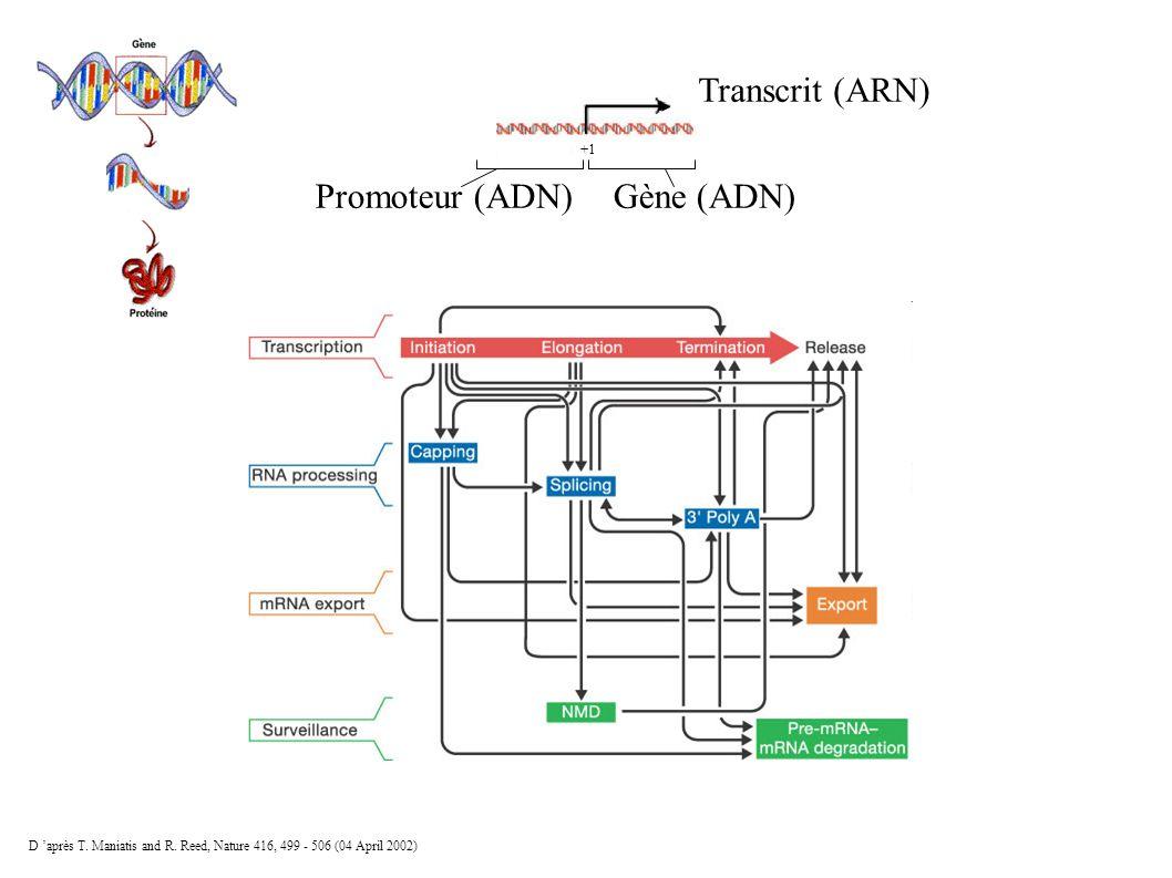 Transcrit (ARN) Gène (ADN) Promoteur (ADN) +1