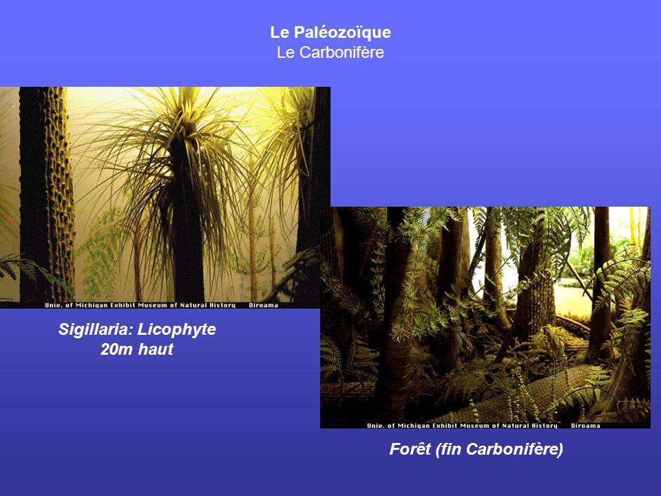 Sigillaria: Licophyte 20m haut