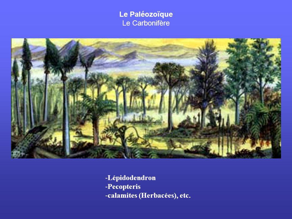 Le Paléozoïque Le Carbonifère Lépidodendron Pecopteris calamites (Herbacées), etc.