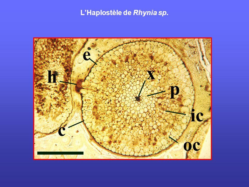 L'Haplostèle de Rhynia sp.