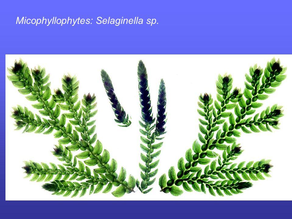 Micophyllophytes: Selaginella sp.