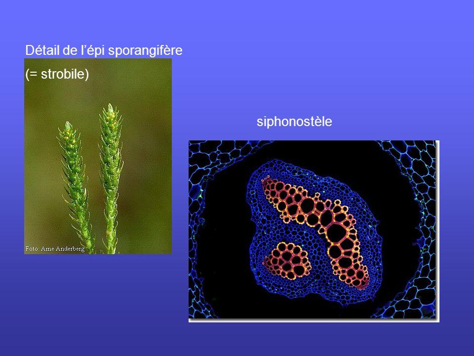 Détail de l'épi sporangifère