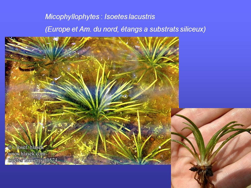 Micophyllophytes : Isoetes lacustris