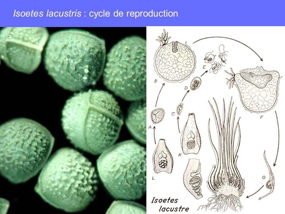 Isoetes lacustris : cycle de reproduction
