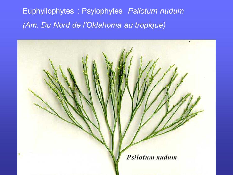 Euphyllophytes : Psylophytes Psilotum nudum