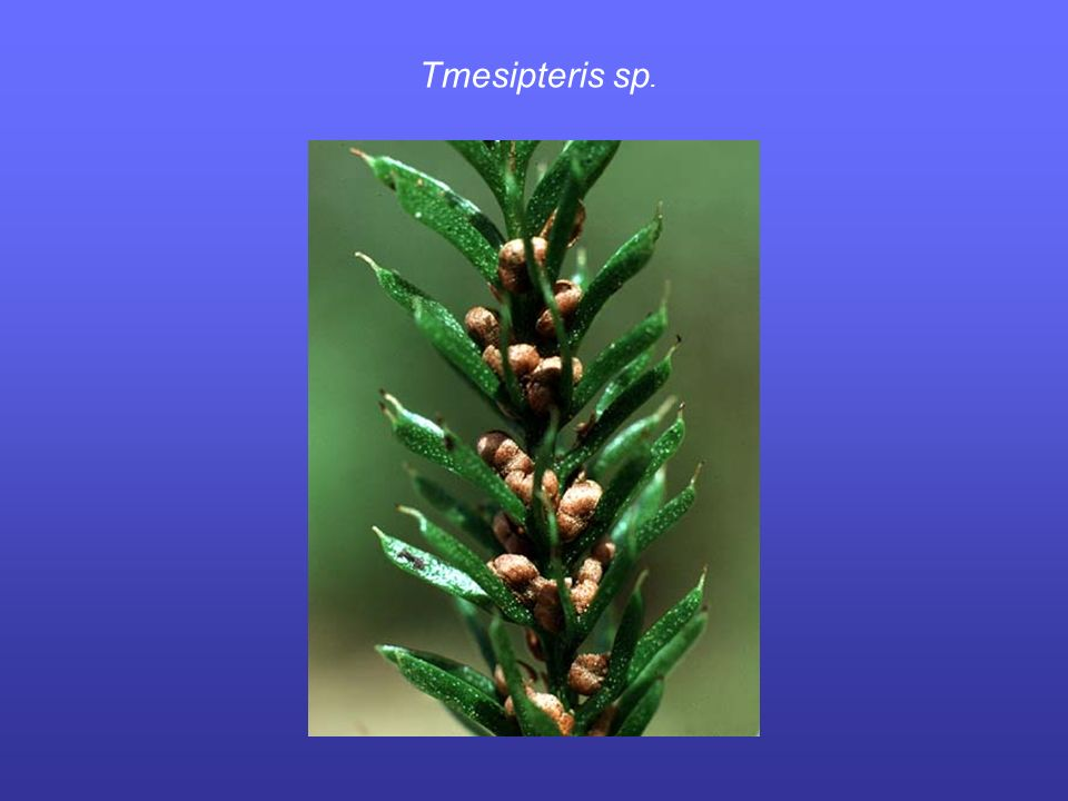 Tmesipteris sp.