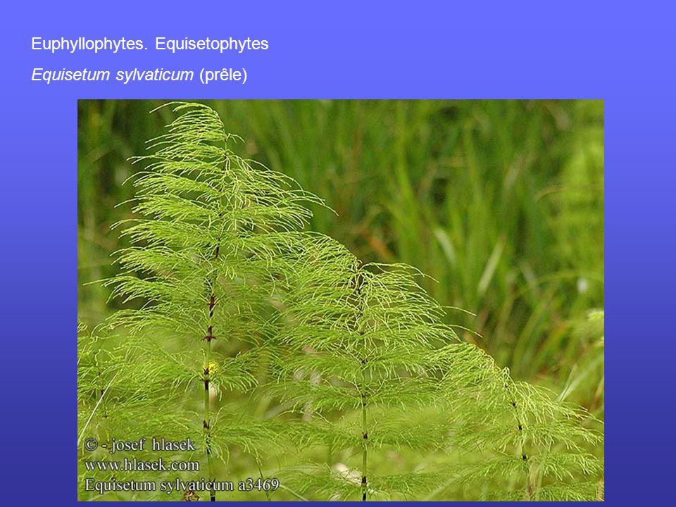 Euphyllophytes. Equisetophytes