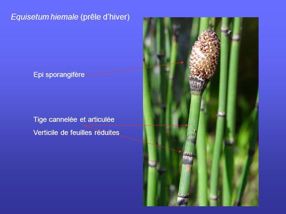 Equisetum hiemale (prêle d'hiver)