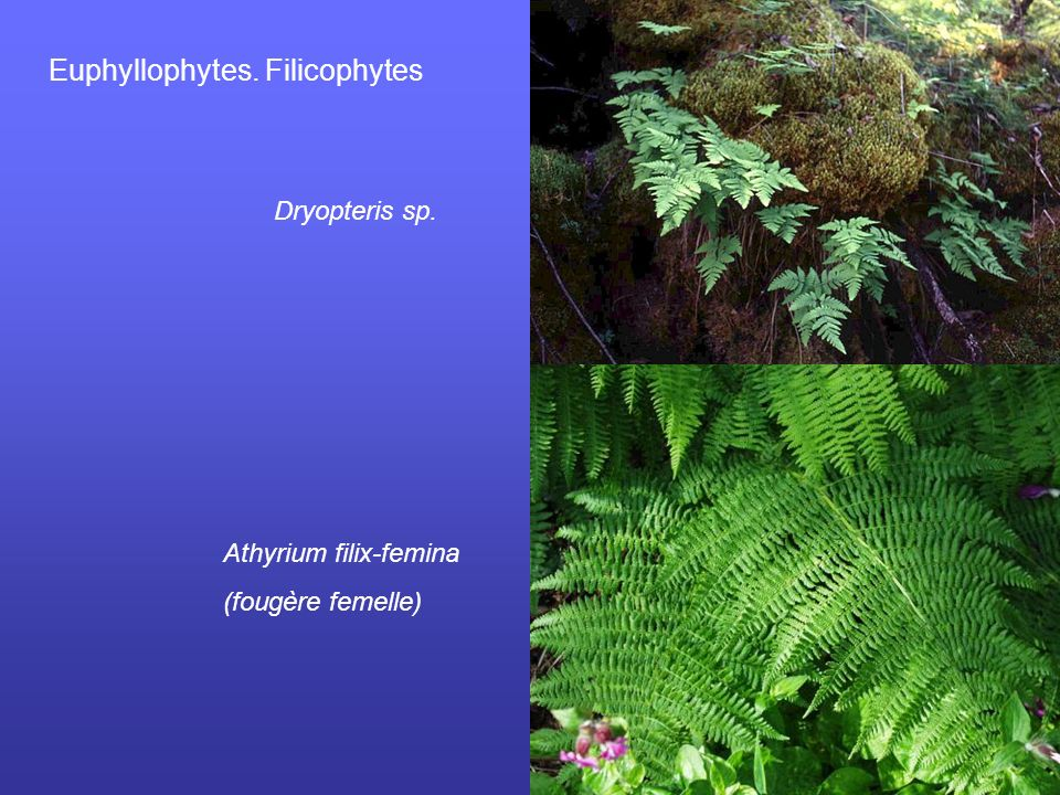 Euphyllophytes. Filicophytes