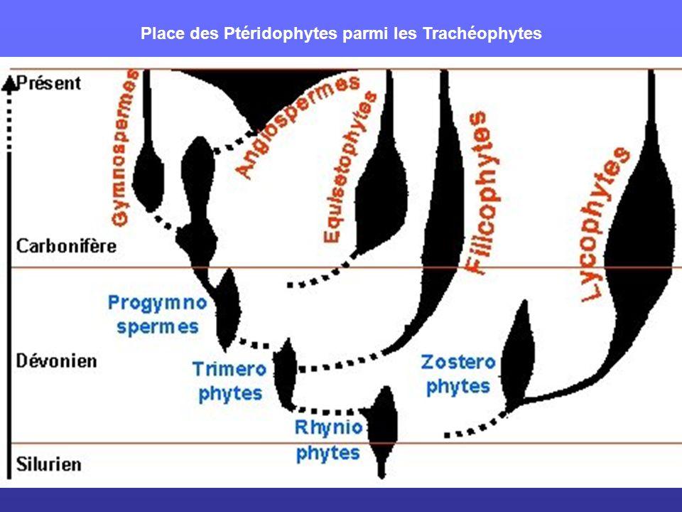 Place des Ptéridophytes parmi les Trachéophytes