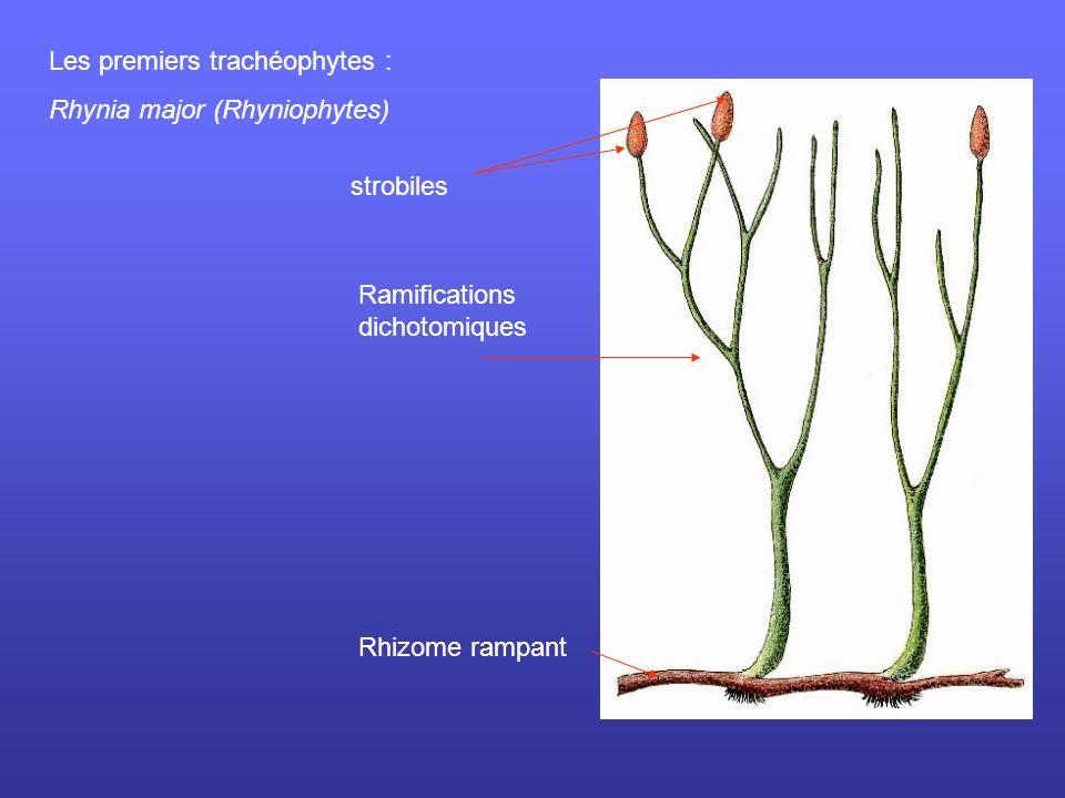Les premiers trachéophytes :