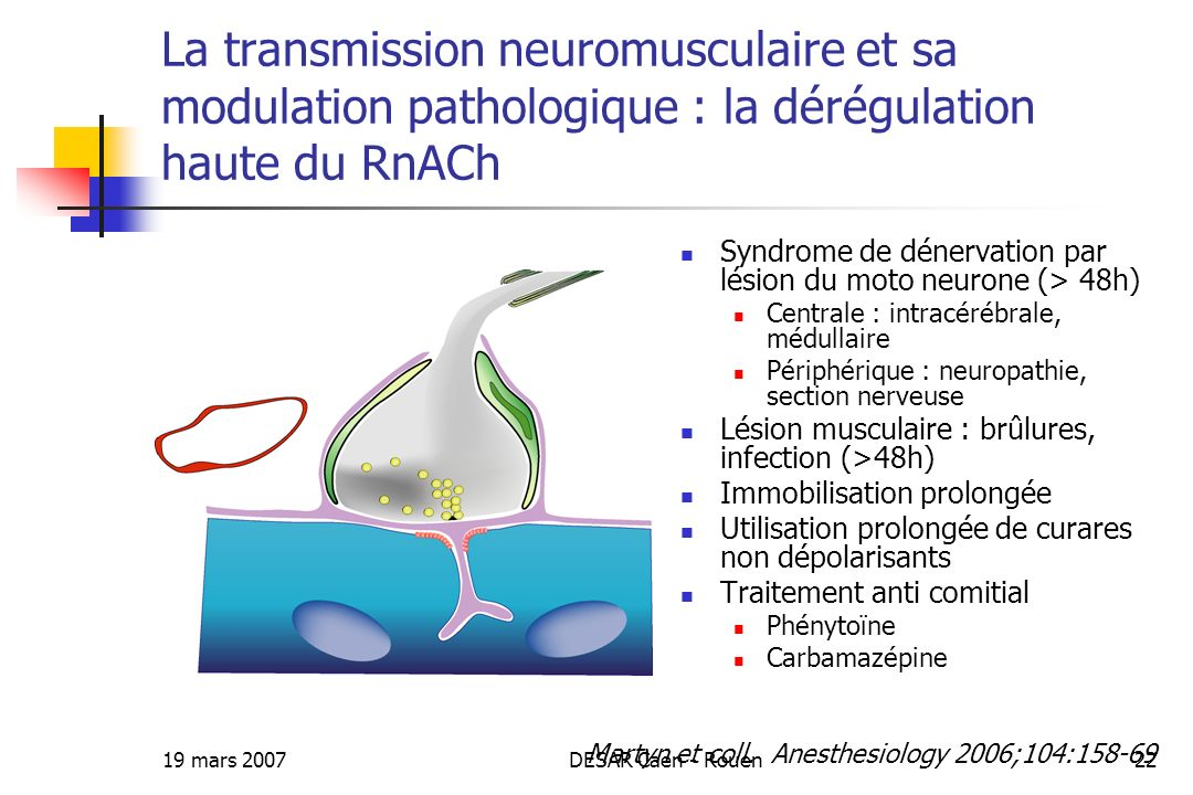 La transmission neuromusculaire et sa modulation pathologique : la dérégulation haute du RnACh