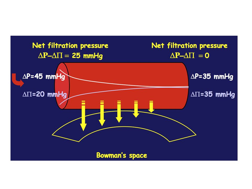 La loi de starling dtermine la filtration glomerulaire