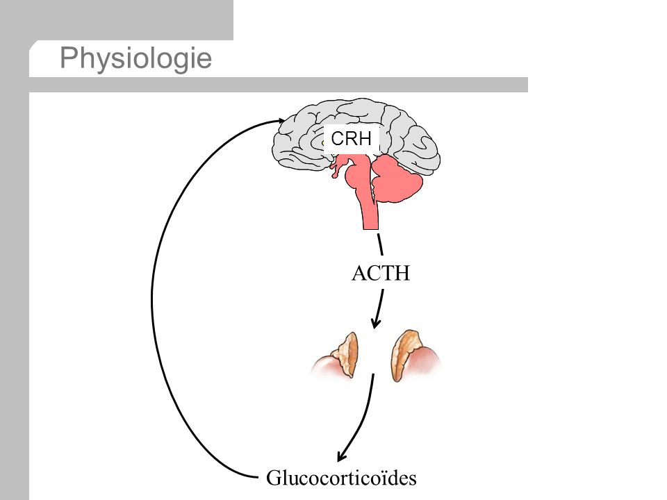 Physiologie CRH ACTH Glucocorticoïdes
