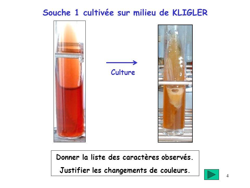 Souche 1 cultivée sur milieu de KLIGLER