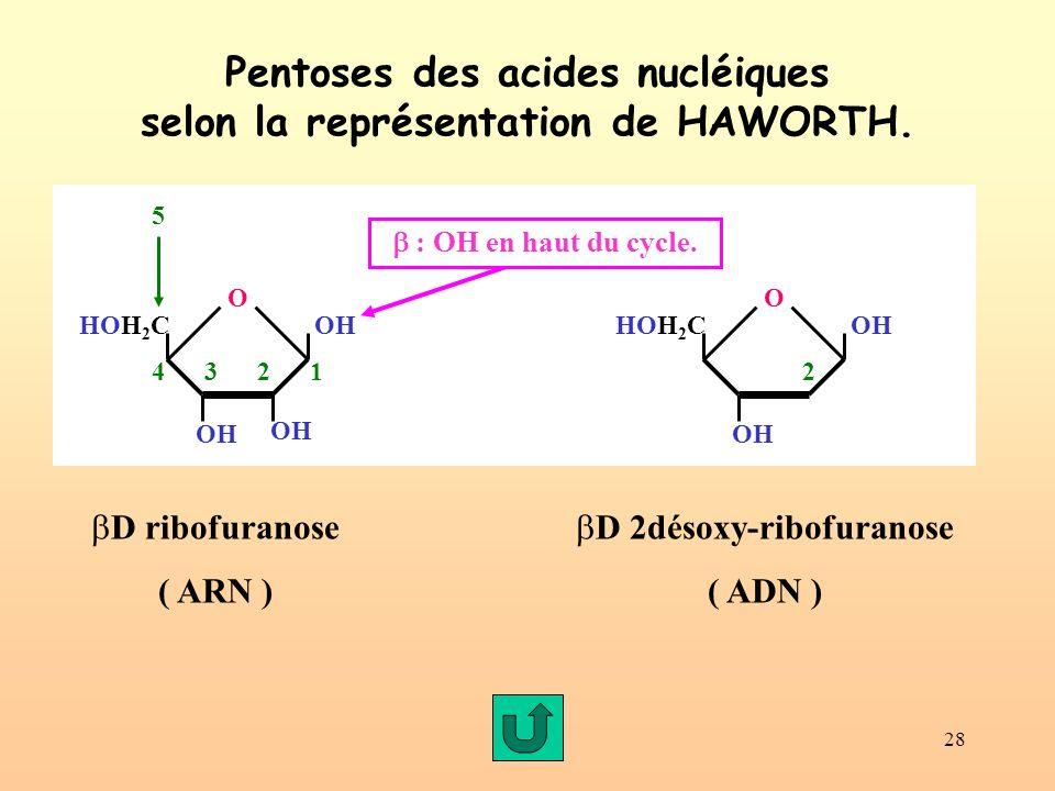Pentoses des acides nucléiques selon la représentation de HAWORTH.