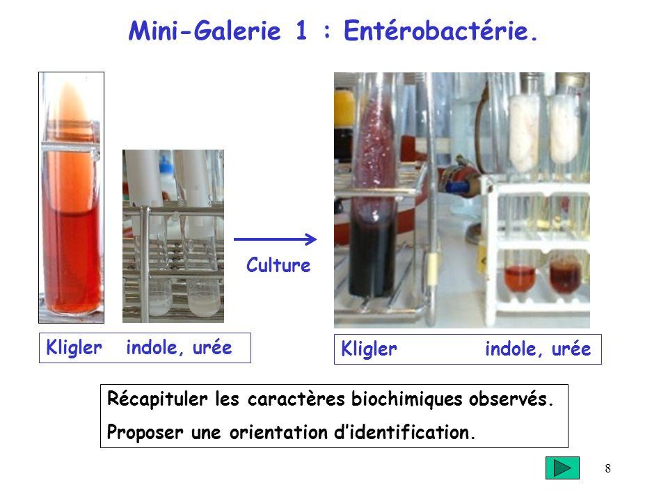 Mini-Galerie 1 : Entérobactérie.