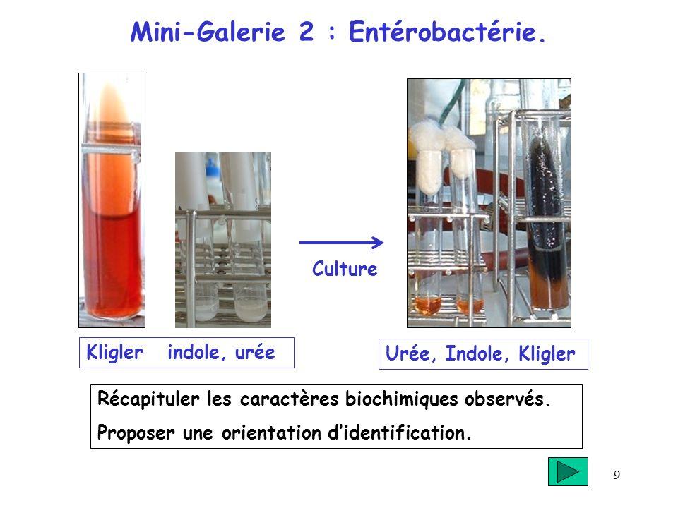 Mini-Galerie 2 : Entérobactérie.