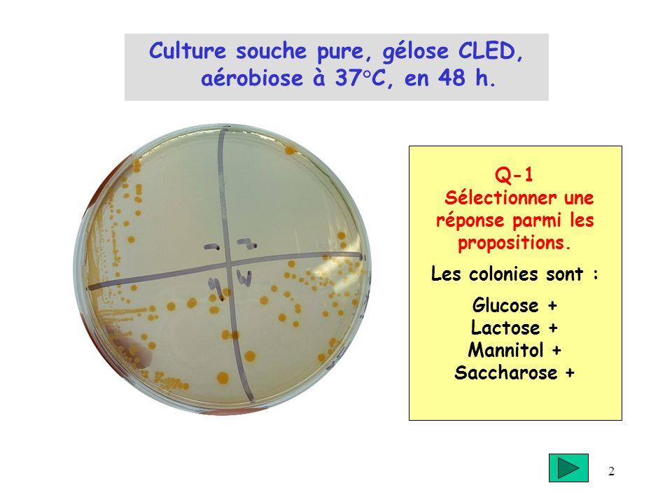 Culture souche pure, gélose CLED, aérobiose à 37°C, en 48 h.