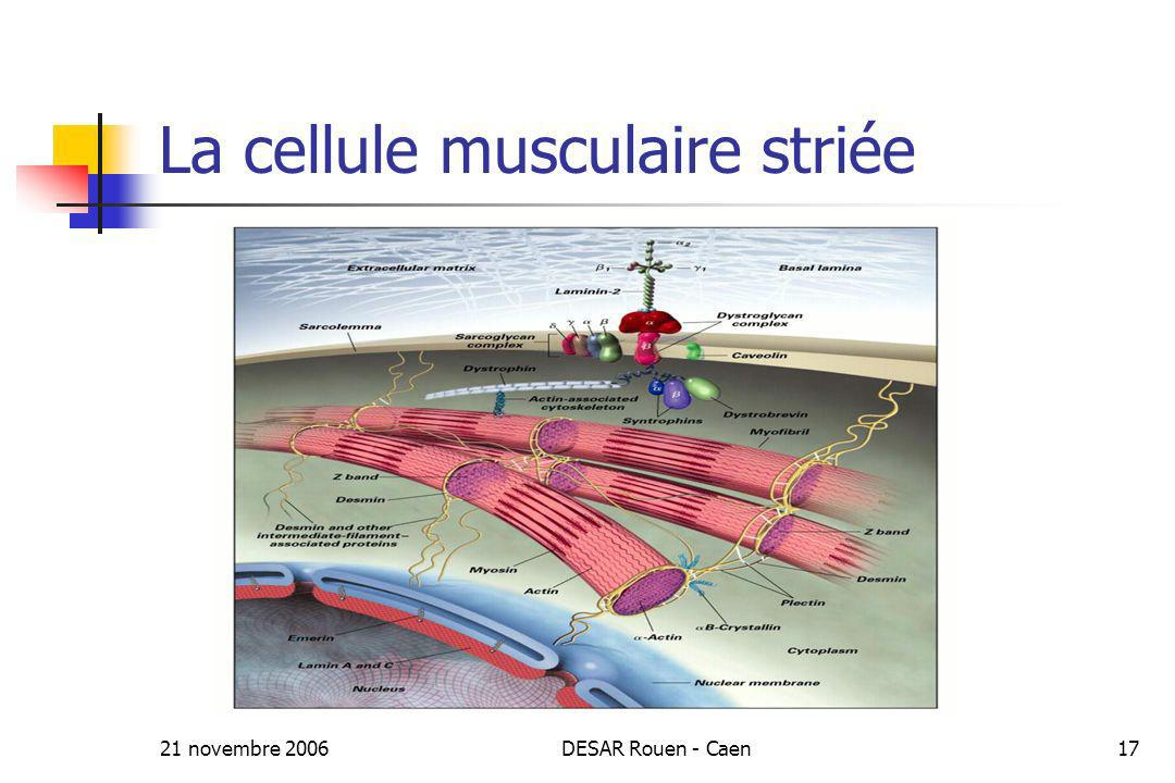 La cellule musculaire striée