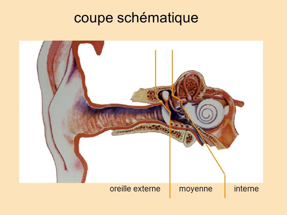 coupe schématique oreille externe moyenne interne