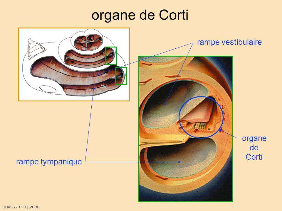 organe de Corti rampe vestibulaire organe de Corti rampe tympanique