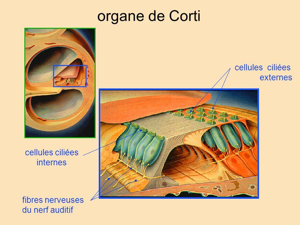 organe de Corti cellules ciliées externes cellules ciliées internes