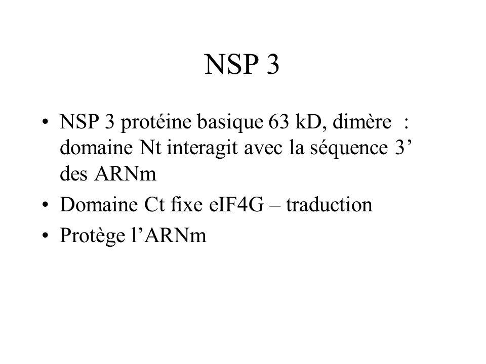 NSP 3 NSP 3 protéine basique 63 kD, dimère : domaine Nt interagit avec la séquence 3' des ARNm. Domaine Ct fixe eIF4G – traduction.