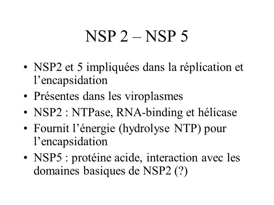 NSP 2 – NSP 5NSP2 et 5 impliquées dans la réplication et l'encapsidation. Présentes dans les viroplasmes.