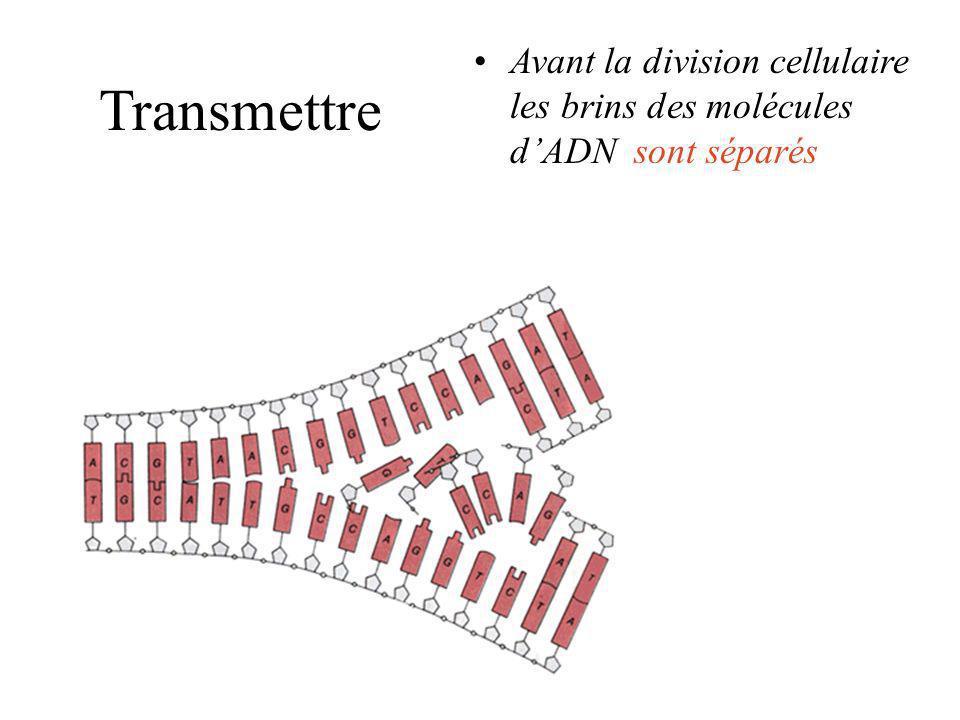 Avant la division cellulaire les brins des molécules d'ADN sont séparés
