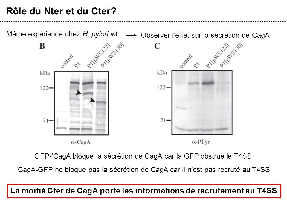 Rôle du Nter et du Cter Même expérience chez H. pylori wt. Observer l'effet sur la sécrétion de CagA.