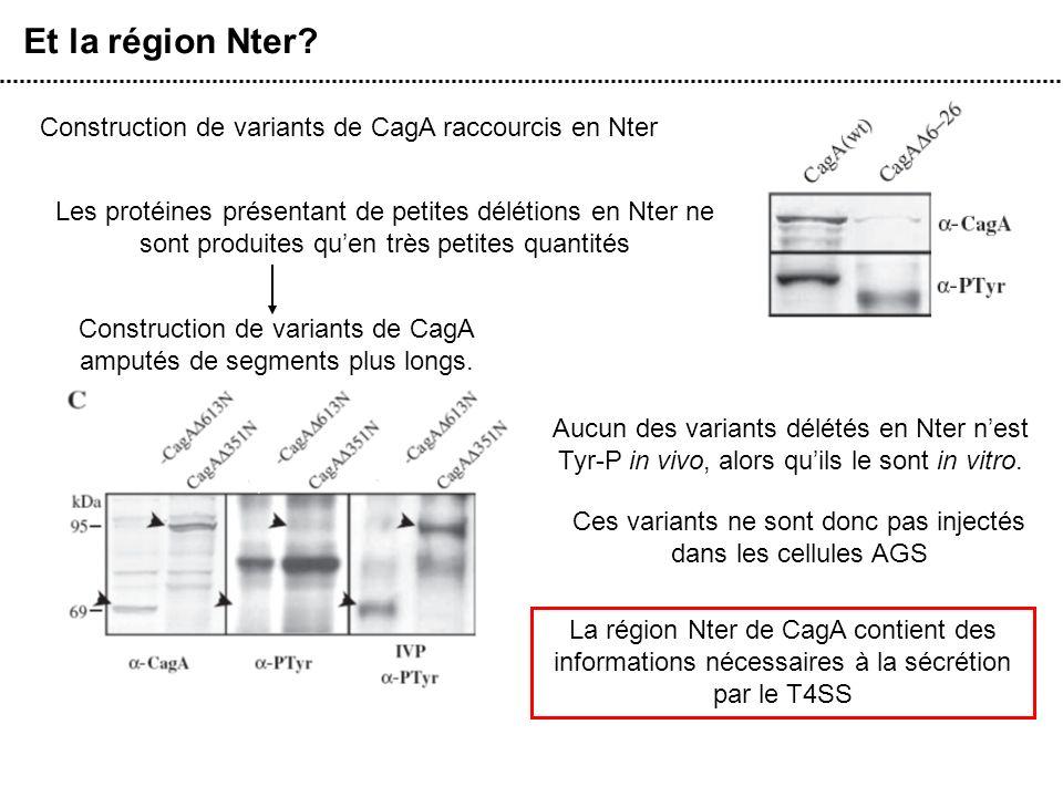 Et la région Nter Construction de variants de CagA raccourcis en Nter