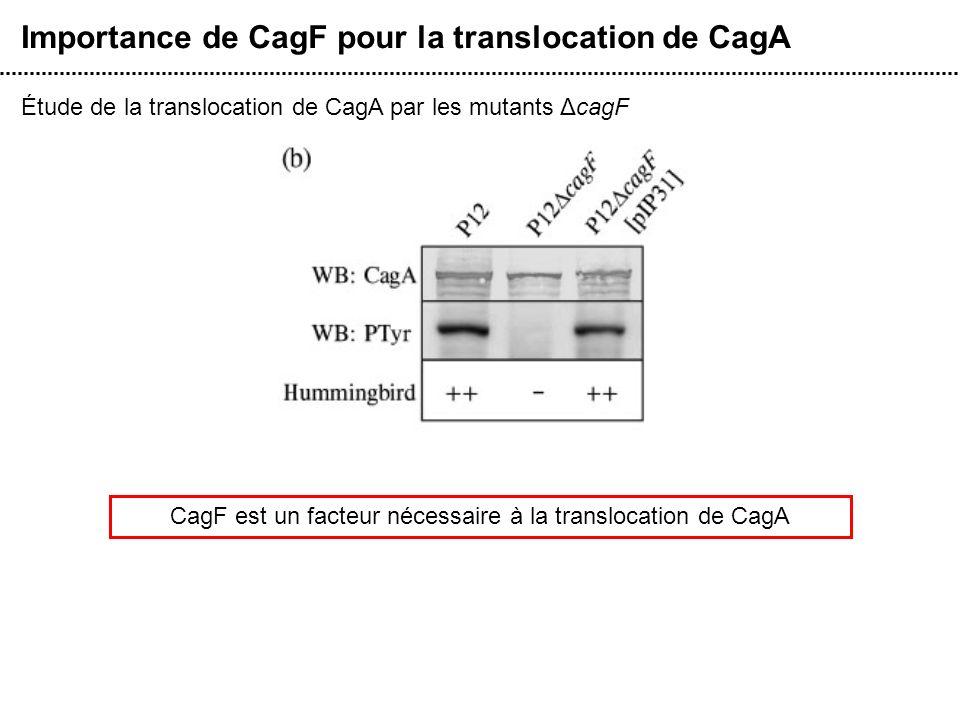 CagF est un facteur nécessaire à la translocation de CagA