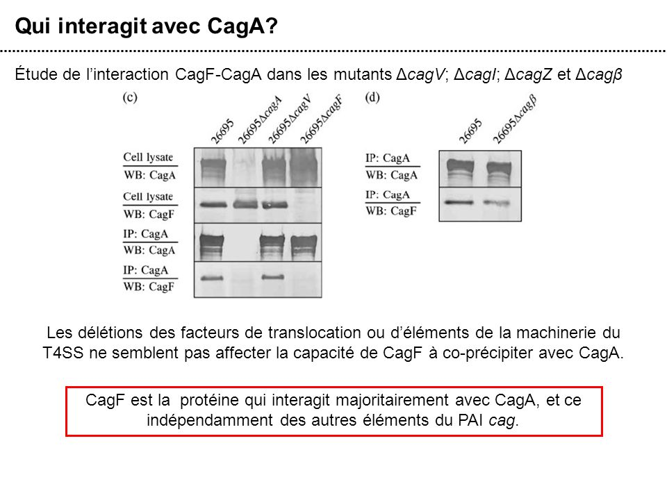 Qui interagit avec CagA