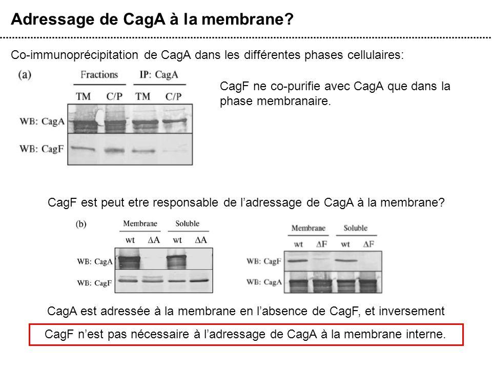 Adressage de CagA à la membrane