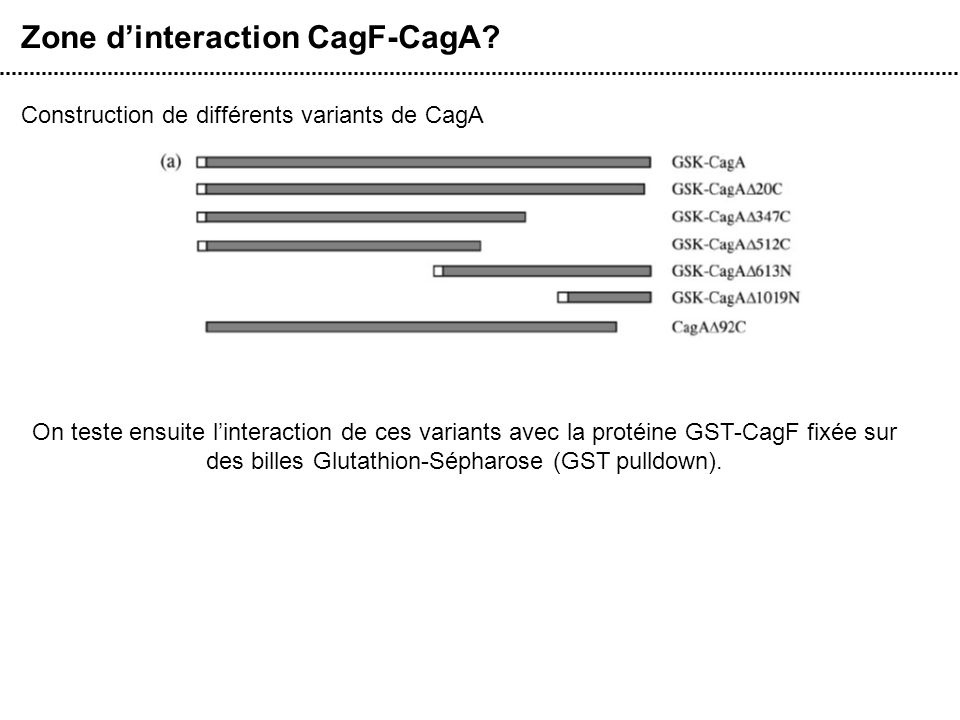 Zone d'interaction CagF-CagA