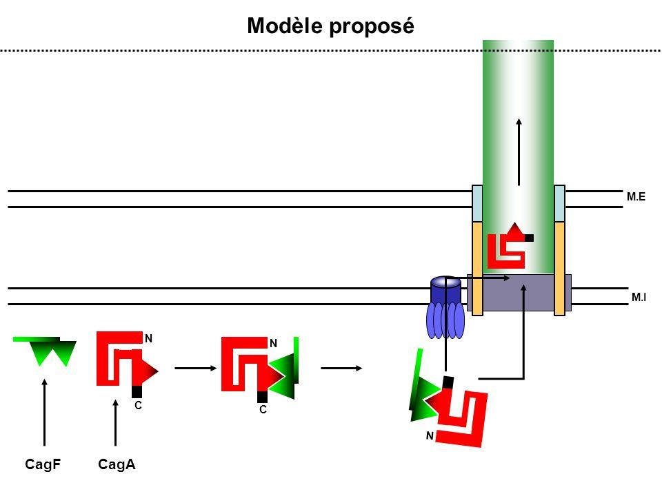 Modèle proposé M.E M.I N C N C N CagF CagA