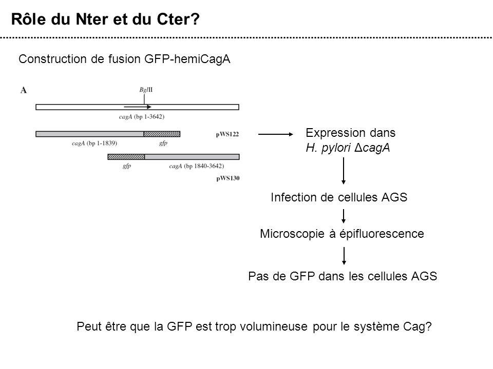 Rôle du Nter et du Cter Construction de fusion GFP-hemiCagA