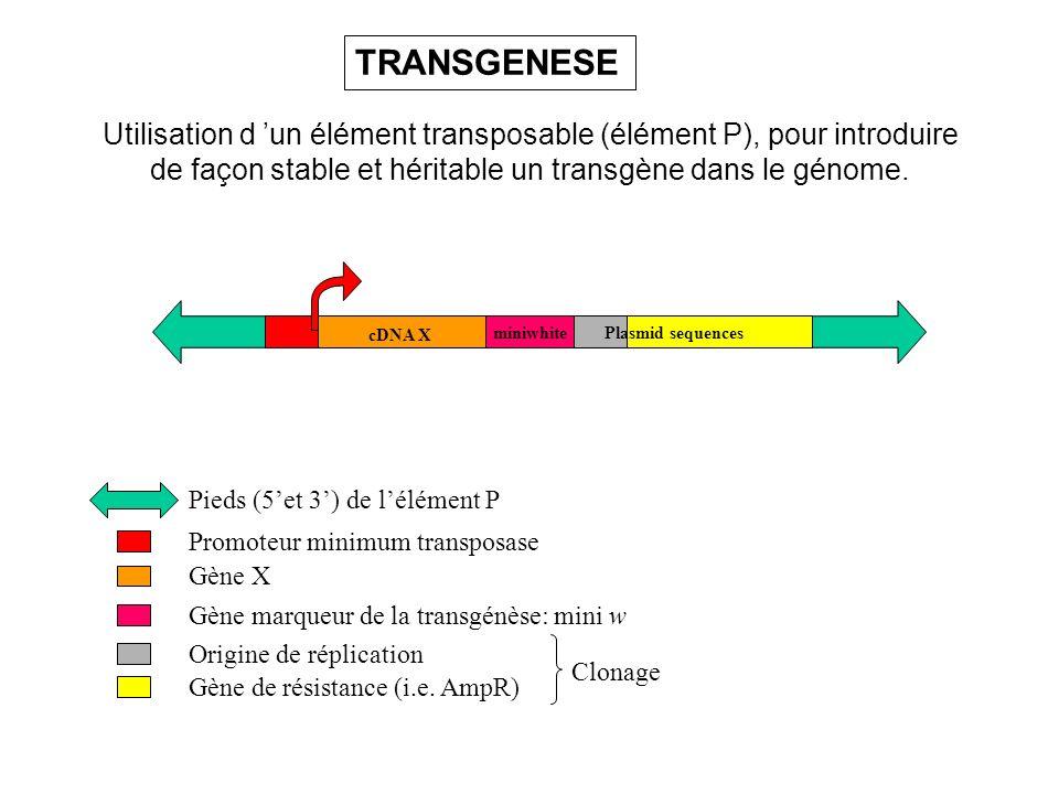 TRANSGENESE Utilisation d 'un élément transposable (élément P), pour introduire. de façon stable et héritable un transgène dans le génome.