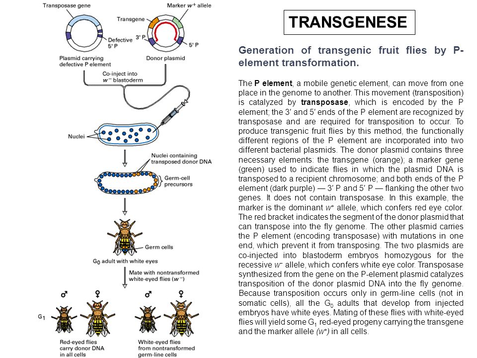 TRANSGENESE Generation of transgenic fruit flies by P-element transformation.