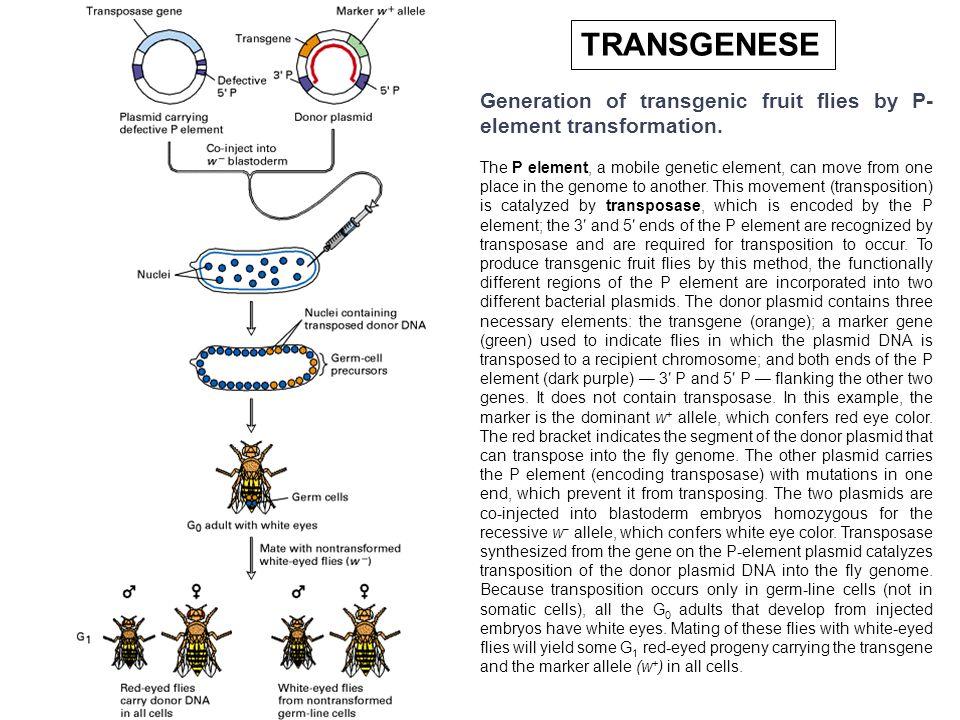 TRANSGENESEGeneration of transgenic fruit flies by P-element transformation.
