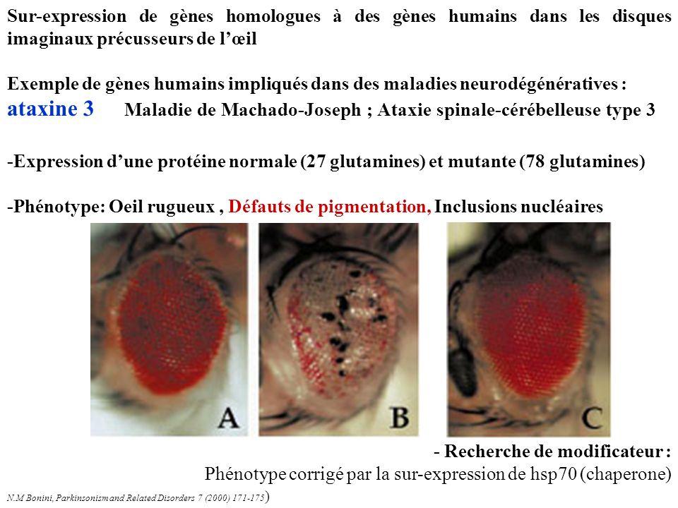 Sur-expression de gènes homologues à des gènes humains dans les disques imaginaux précusseurs de l'œil