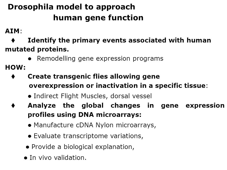 Drosophila model to approach human gene function