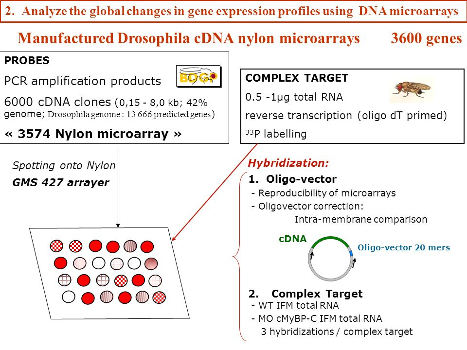 Manufactured Drosophila cDNA nylon microarrays 3600 genes