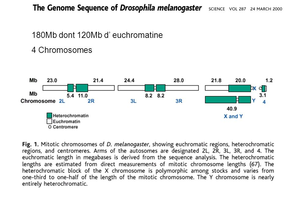180Mb dont 120Mb d' euchromatine