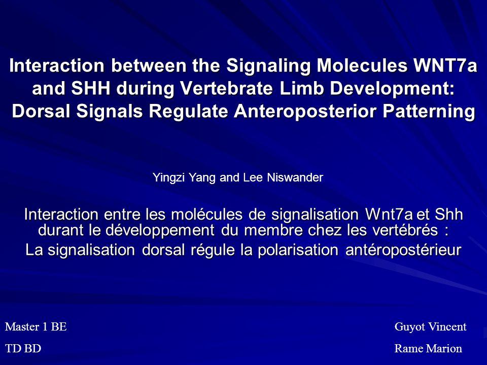 La signalisation dorsal régule la polarisation antéropostérieur