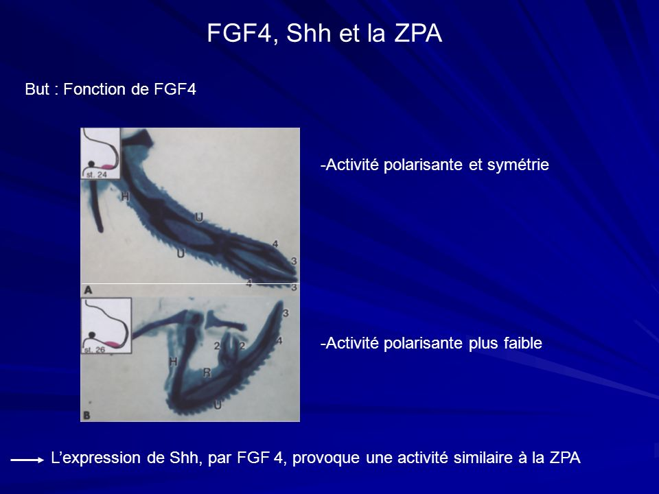 FGF4, Shh et la ZPA But : Fonction de FGF4