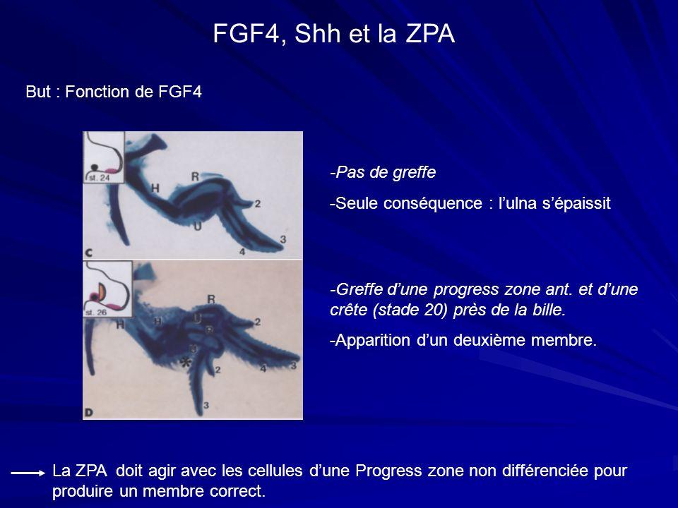 FGF4, Shh et la ZPA But : Fonction de FGF4 -Pas de greffe